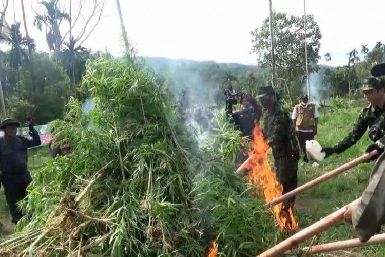 BNN RI musnahkan 5.000 batang pohon ganja - ANTARA News