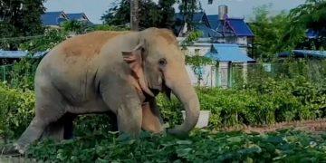 Tiga gajah liar sambangi kantor polisi di Yunnan, China - ANTARA News